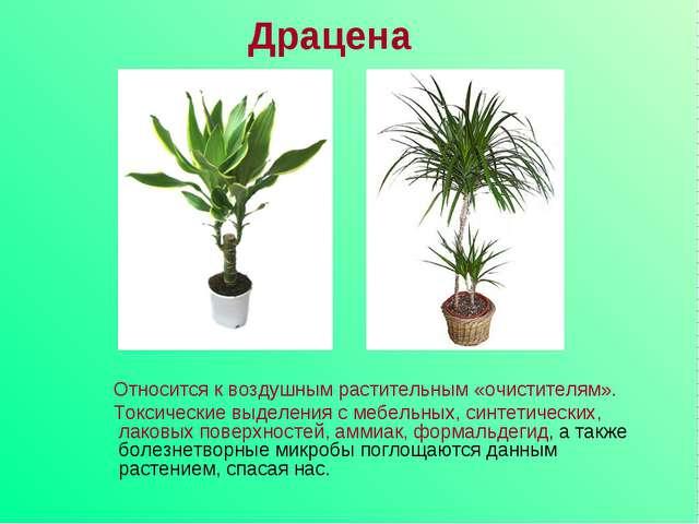 Драцена Относится к воздушным растительным «очистителям». Токсические выделен...