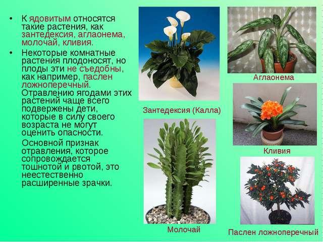 К ядовитым относятся такие растения, как зантедексия, аглаонема, молочай, кли...