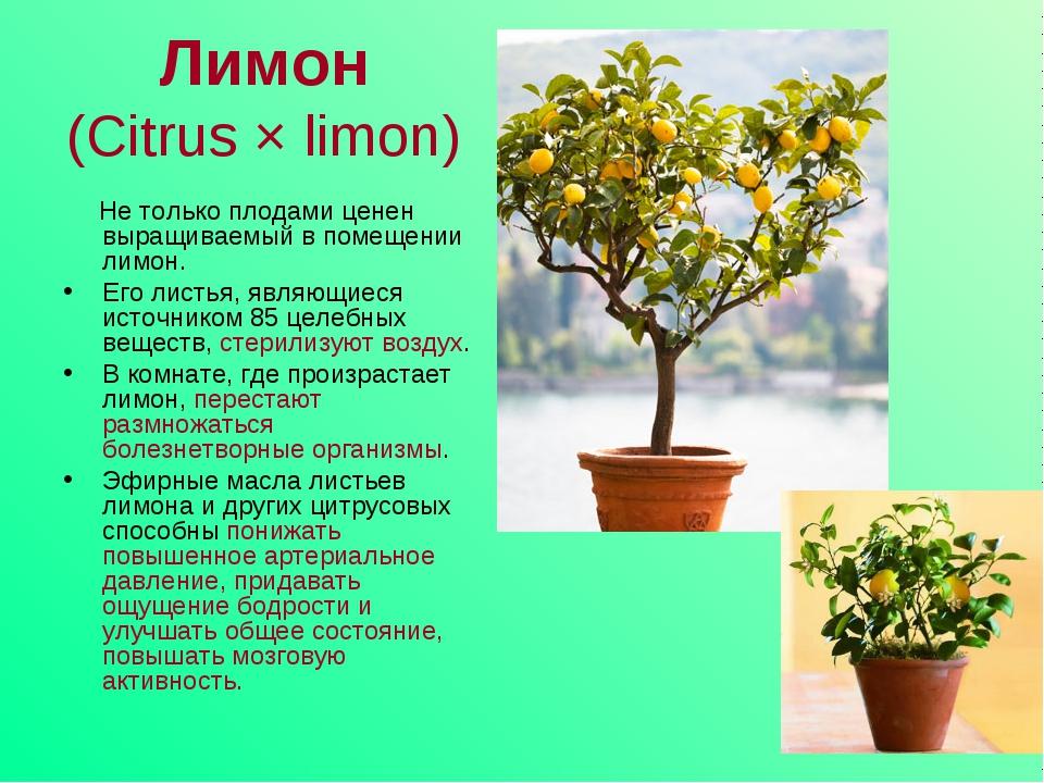 Лимон (Citrus × limon) Не только плодами ценен выращиваемый в помещении лимон...