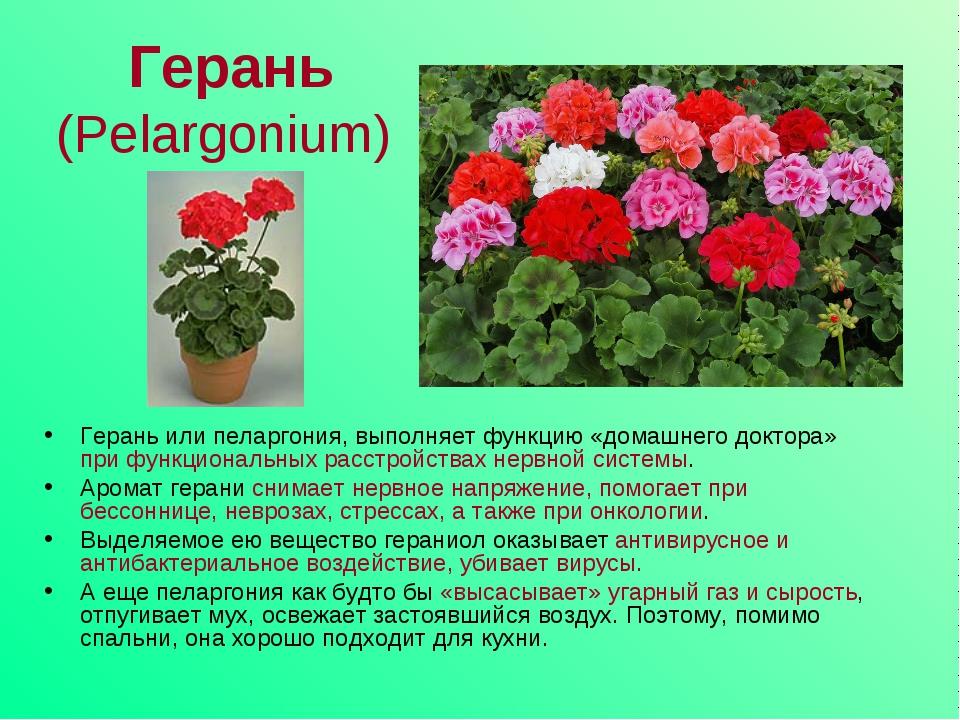 Герань-все о цветах