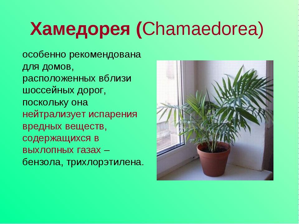 Хамедорея (Chamaedorea) особенно рекомендована для домов, расположенных вблиз...