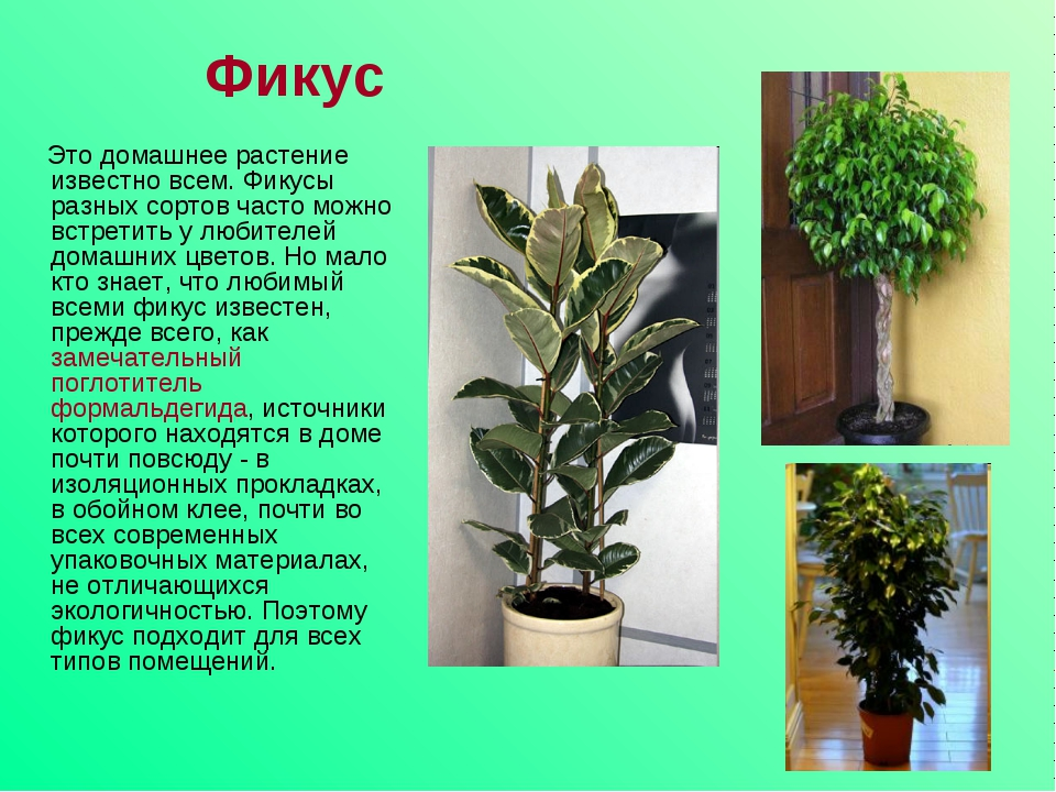Фикус Это домашнее растение известно всем. Фикусы разных сортов часто можно в...