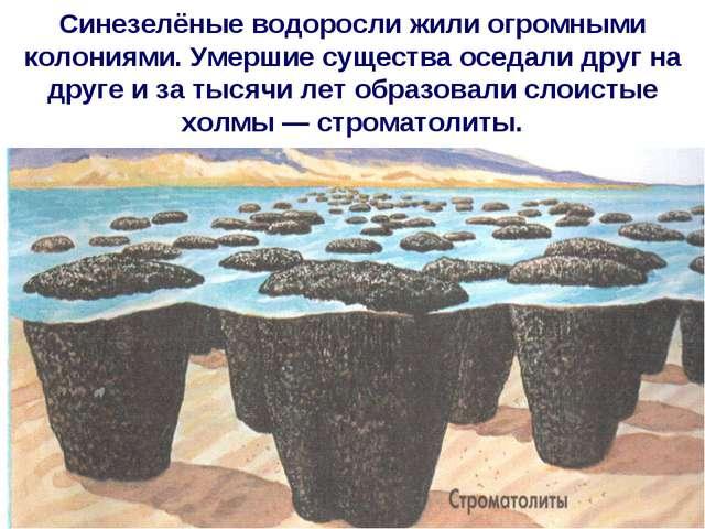 Синезелёные водоросли жили огромными колониями. Умершие существа оседали друг...