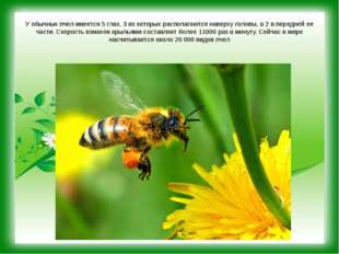 У обычных пчел имеется 5 глаз, 3 из которых располагаются наверху головы, а 2