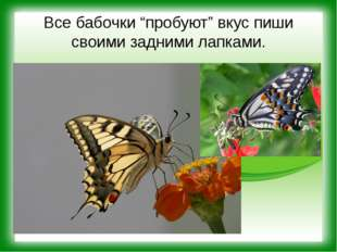 """Все бабочки """"пробуют"""" вкус пиши своими задними лапками."""