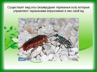 Существует вид осы (изумрудная тараканья оса) которые управляют тараканами вп