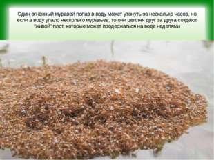 Один огненный муравей попав в воду может утонуть за несколько часов, но если