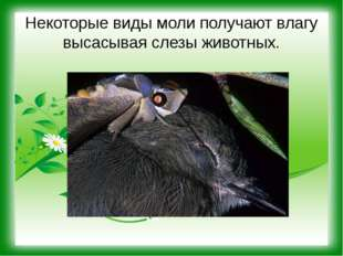 Некоторые виды моли получают влагу высасывая слезы животных.
