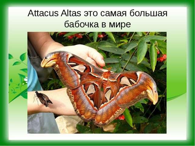 Attacus Altas это самая большая бабочка в мире