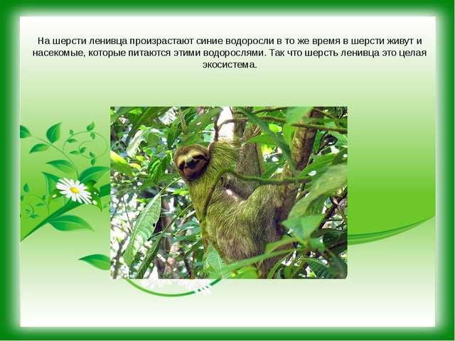 На шерсти ленивца произрастают синие водоросли в то же время в шерсти живут и...