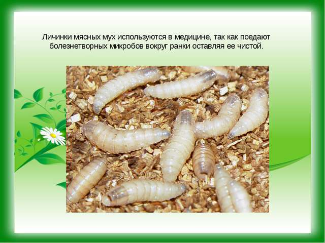 Личинки мясных мух используются в медицине, так как поедают болезнетворных ми...