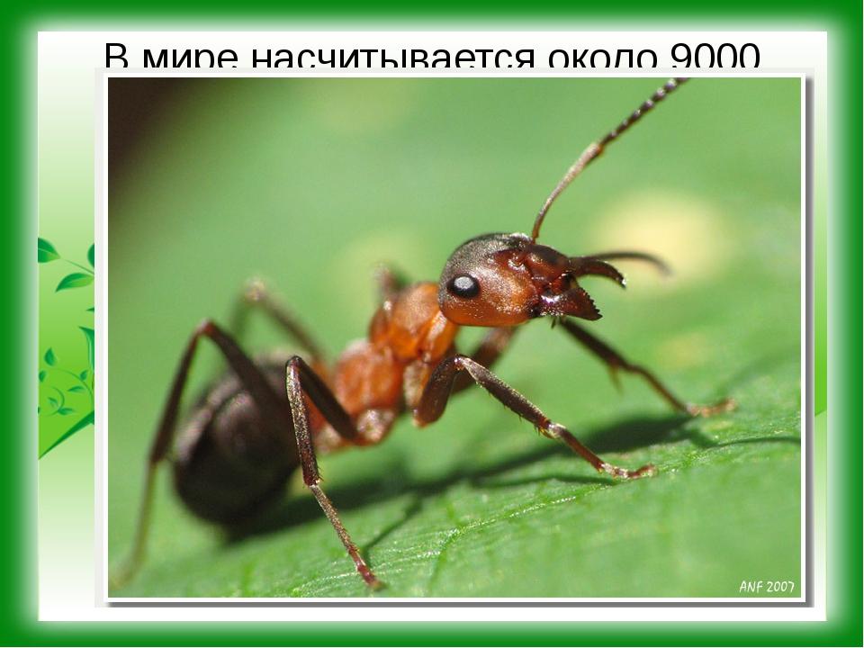 В мире насчитывается около 9000 видов муравьев