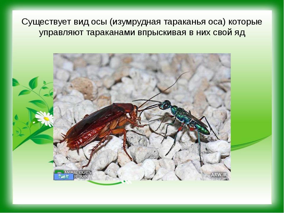 Существует вид осы (изумрудная тараканья оса) которые управляют тараканами вп...