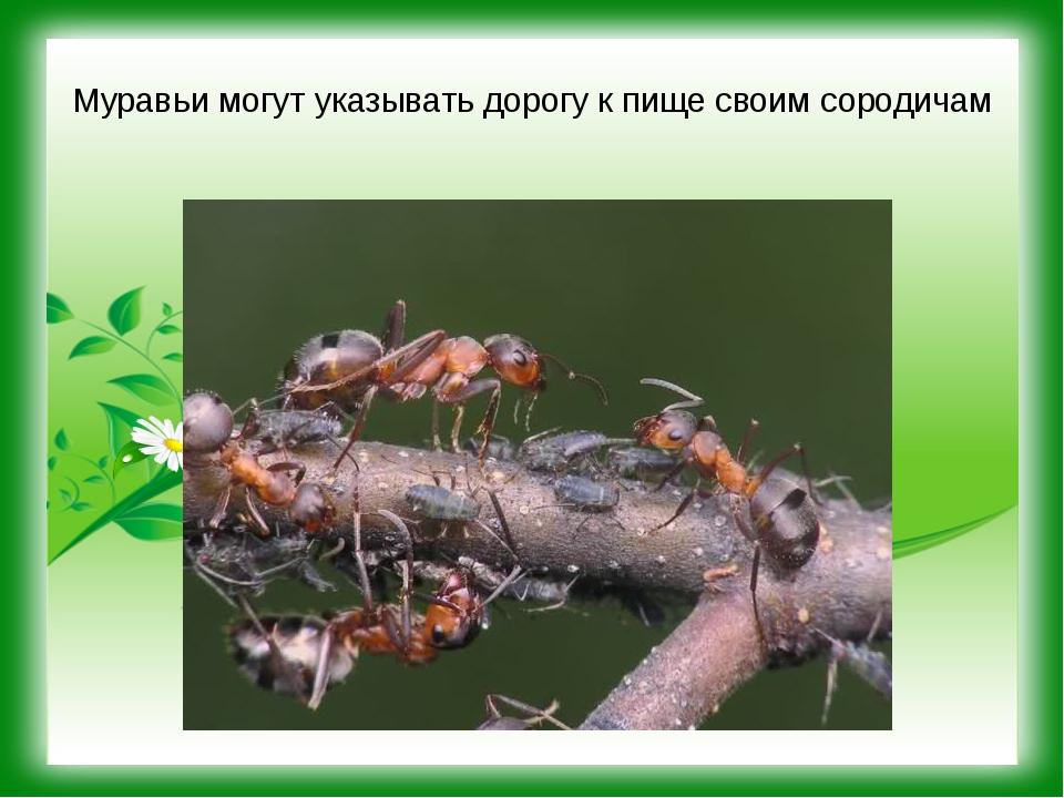 Муравьи могут указывать дорогу к пище своим сородичам