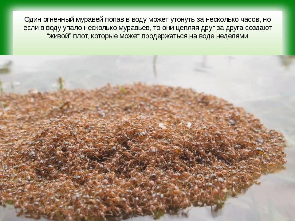 Один огненный муравей попав в воду может утонуть за несколько часов, но если...