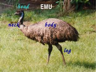 EMU body head neck leg