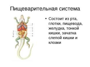 Пищеварительная система Состоит из рта, глотки, пищевода, желудка, тонкой киш