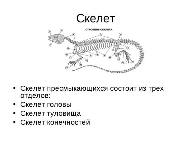 Скелет Скелет пресмыкающихся состоит из трех отделов: Скелет головы Скелет ту...