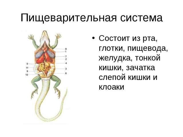 Пищеварительная система Состоит из рта, глотки, пищевода, желудка, тонкой киш...