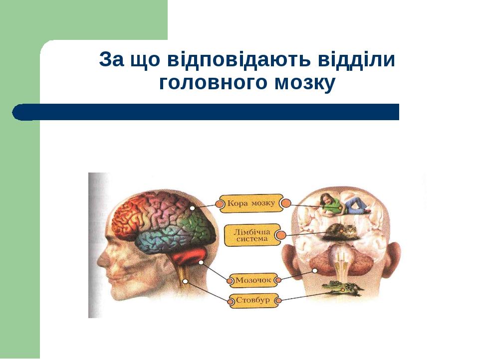 За що відповідають відділи головного мозку