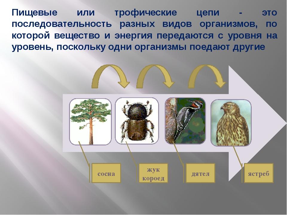сосна жук короед дятел ястреб Пищевые или трофические цепи - это последовател...