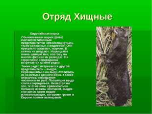 Отряд Хищные Европейская норка Обыкновенная норка (фото) считается типичным п