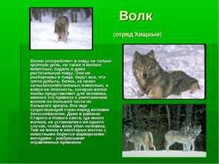 Волк (отряд Хищные) Волки употребляют в пищу не только крупную дичь, но такж