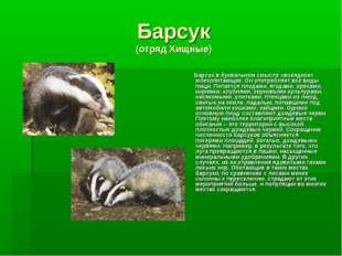 Барсук (отряд Хищные) Барсук в буквальном смысле «всеядное» млекопитающее. Он