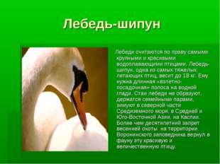 Лебедь-шипун Лебеди считаются по праву самыми крупными и красивыми водоплаваю