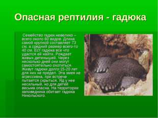 Опасная рептилия - гадюка Семейство гадюк невелико – всего около 60 видов. Дл