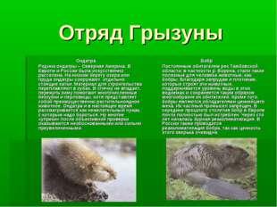 Отряд Грызуны Ондатра Родина ондатры – Северная Америка. В Европе и России б