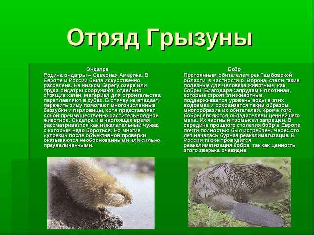 Отряд Грызуны Ондатра Родина ондатры – Северная Америка. В Европе и России б...
