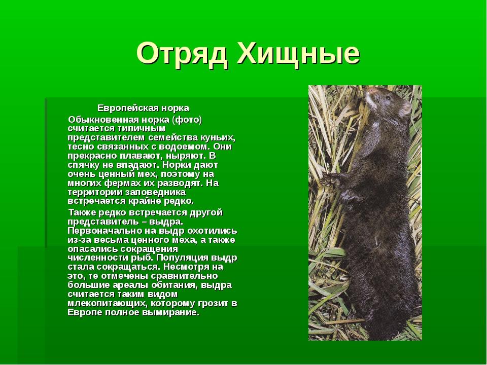 Отряд Хищные Европейская норка Обыкновенная норка (фото) считается типичным п...