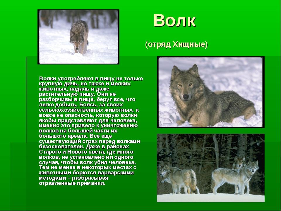 Волк (отряд Хищные) Волки употребляют в пищу не только крупную дичь, но такж...