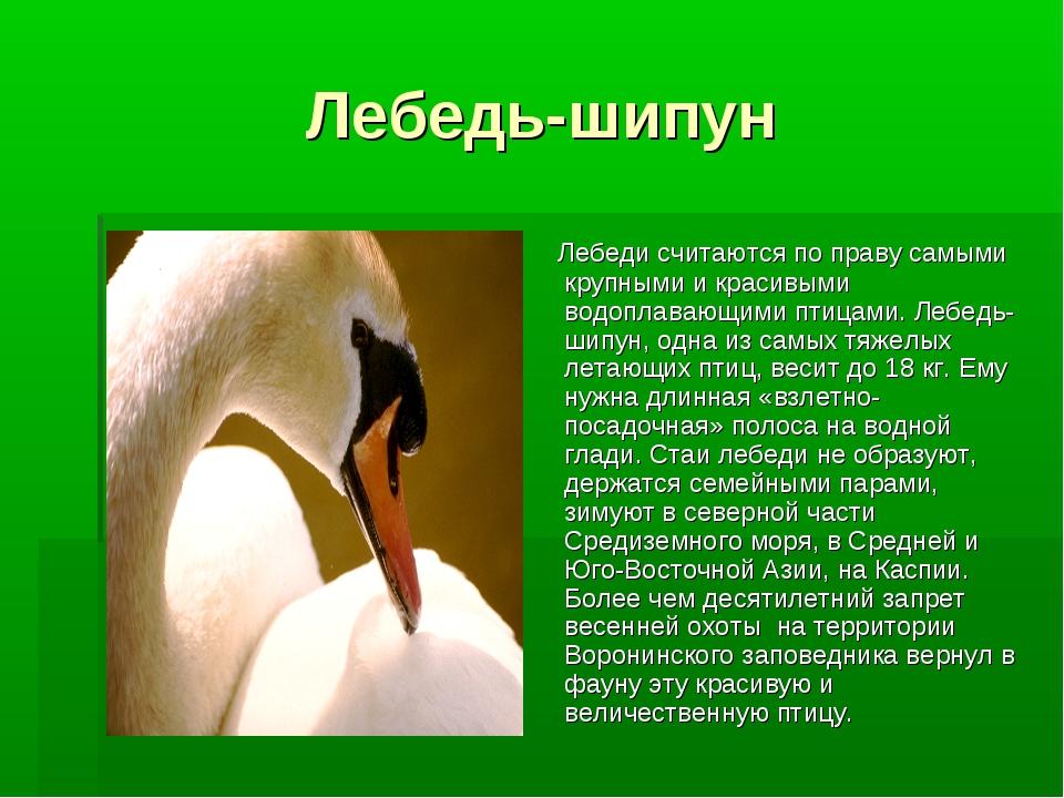 Лебедь-шипун Лебеди считаются по праву самыми крупными и красивыми водоплаваю...