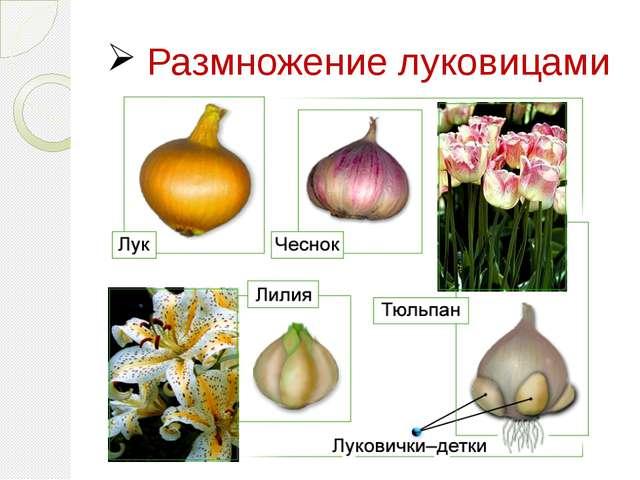 Размножение луковицами