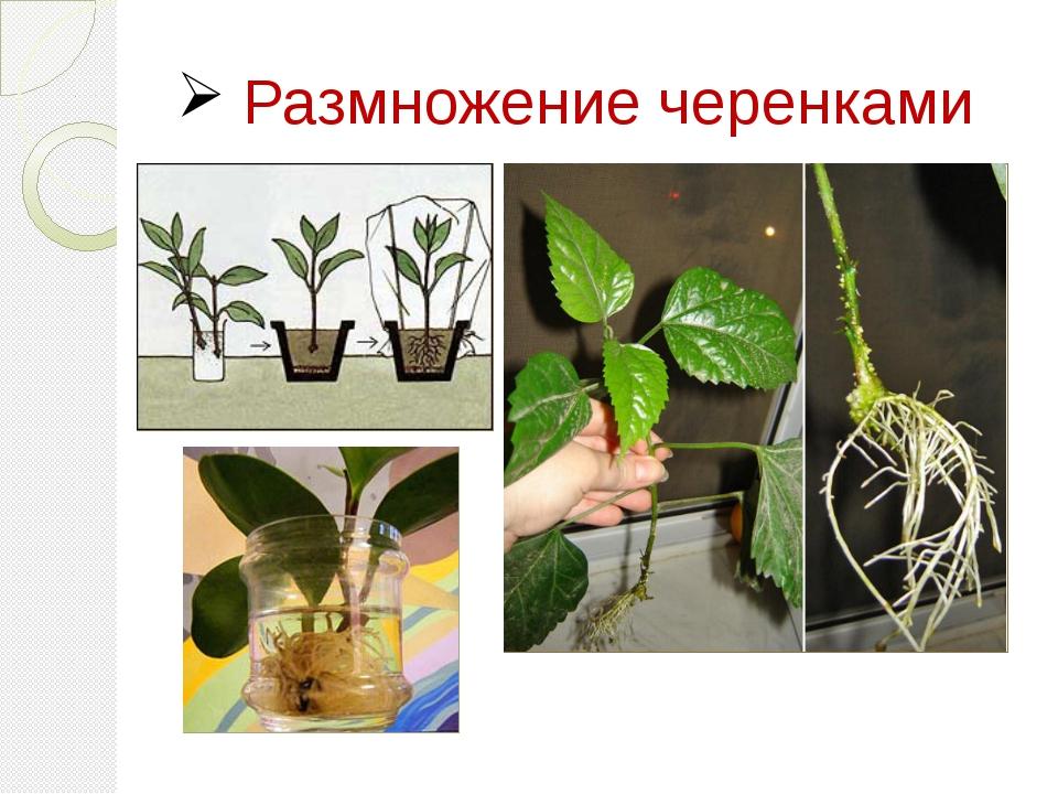 бамбук комнатное растение уход и размножение