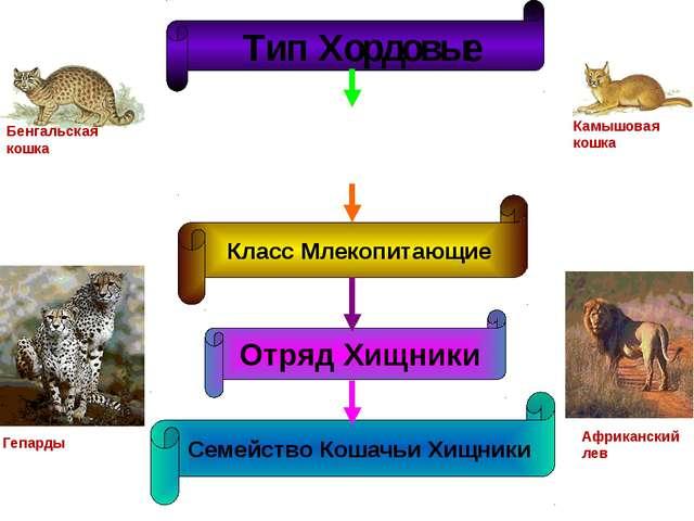 Бенгальская кошка Гепарды Камышовая кошка Африканский лев Тип Хордовые Класс...