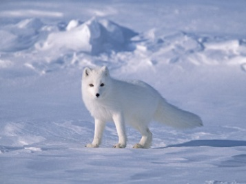 C:\Documents and Settings\Администратор\Рабочий стол\Arctic_Fox_on_Sea_Ice,_North_Slope_Near_Arctic_Ocean,_Alaska_800.jpg