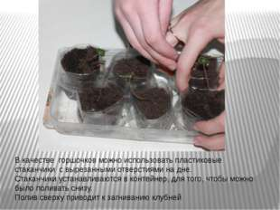 В качестве горшочков можно использовать пластиковые стаканчики с вырезанными