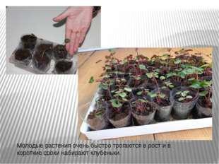 Молодые растения очень быстро трогаются в рост и в короткие сроки набирают кл