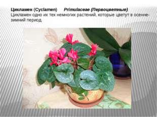 Цикламен (Cyclamen) Primulaceae(Первоцветные) Цикламен одно их тех немногих