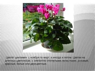 Цветет цикламен с ноября по март, а иногда и летом. Цветки на длинных цвето