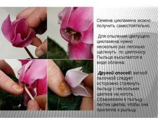 Семена цикламена можно получить самостоятельно. Для опыления цветущего циклам
