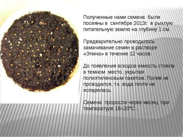 Полученные нами семена были посеяны в сентябре 2013г. в рыхлую питательную зе...