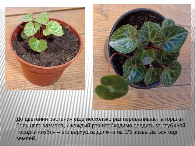 До цветения растения еще несколько раз переваливают в горшки большего размера...
