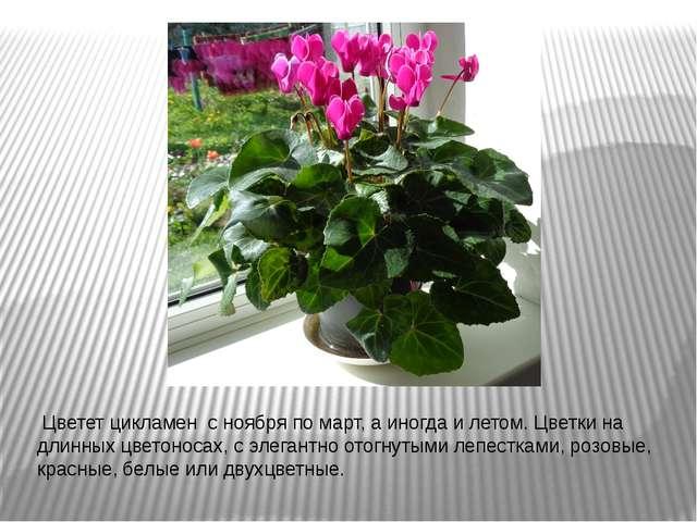 Цветет цикламен с ноября по март, а иногда и летом. Цветки на длинных цвето...