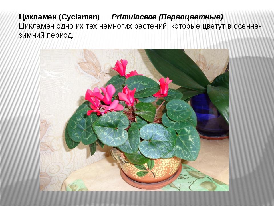 Цикламен (Cyclamen) Primulaceae(Первоцветные) Цикламен одно их тех немногих...