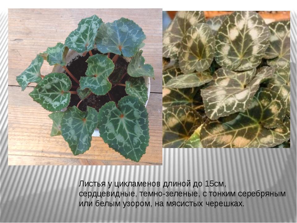 Листья у цикламенов длиной до 15см, сердцевидные, темно-зеленые, с тонким сер...