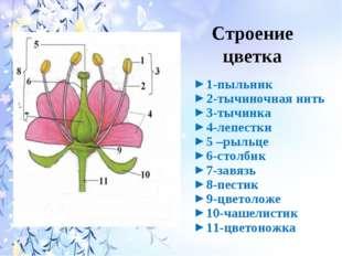 Строение цветка 1-пыльник 2-тычиночная нить 3-тычинка 4-лепестки 5 –рыльце 6-